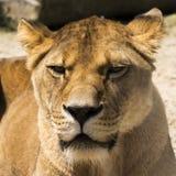 Львица лежа вниз и отдыхая Стоковое фото RF