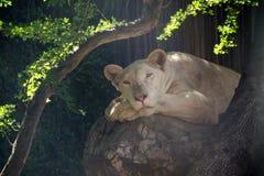 Львица лежит вниз Стоковое Изображение