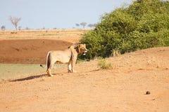 Львица запятнанная в глуши стоковые фотографии rf