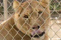 Львица лижет Стоковое Фото