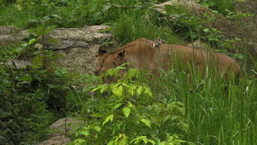 Львица ища и идя медленно через кусты и утесы акции видеоматериалы
