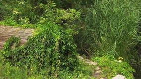 Львица ища и идя медленно через кусты и утесы видеоматериал