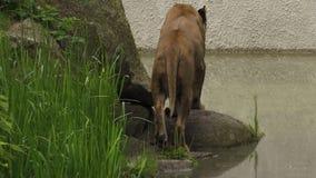 Львица ища и идя медленно через кусты и утесы сток-видео
