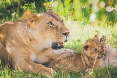Львица и новичок ослабляя в траве стоковое фото rf