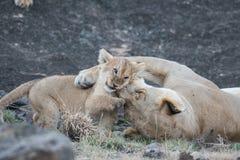 Львица и свой новичок стоковая фотография rf
