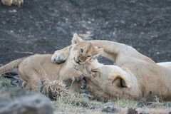 Львица и свой новичок стоковое изображение rf