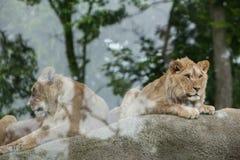 Львица и ювенильный мужской лев (пантера leo) Стоковая Фотография