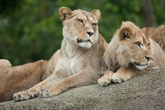 Львица и ювенильный мужской лев & x28; Leo& x29 пантеры; Стоковые Изображения RF