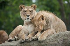 Львица и ювенильный мужской лев & x28; Leo& x29 пантеры; Стоковое фото RF