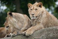 Львица и ювенильный мужской лев panthera leo Стоковое Изображение RF