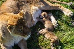Львица кормит свои новичков в парке сафари стоковое изображение rf