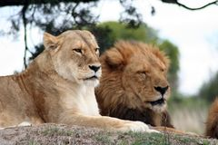 львица льва Стоковое фото RF