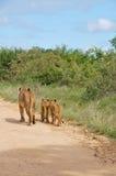 Львица & молодой лев стоковая фотография rf