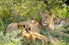 Львица & молодой лев стоковые фотографии rf