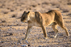 Львица на рысканье Стоковое фото RF