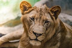 Львица на утесе Стоковое фото RF