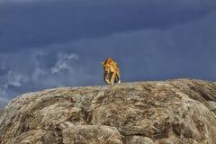 Львица на Kopjes, Serengeti стоковые изображения rf