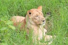 Львица отдыхая в траве. Стоковое Изображение RF