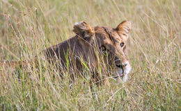 Львица отдыхая в траве стоковая фотография rf
