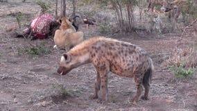 Львица подавая с гиеной на переднем плане HD сток-видео