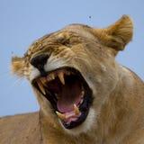 Львица показывая зубы Стоковая Фотография