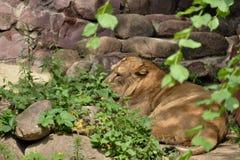 Львица после еды Стоковое фото RF