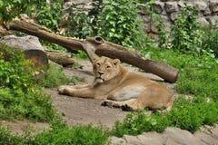 Львица после еды Стоковая Фотография RF