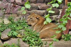 Львица после еды Стоковое Изображение RF