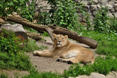 Львица после еды Стоковое Фото