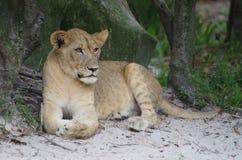 Львица - прерии Serengeti Стоковая Фотография RF