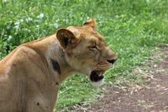 Львица, природный парк Casela Стоковая Фотография RF