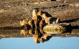 Львица при новички выпивая на waterhole с их отражениями Стоковая Фотография