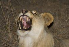 Львица реветь Стоковая Фотография