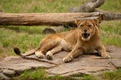 львица рычать Стоковая Фотография