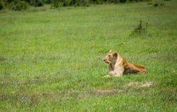 Львица смотря дальше в одичалом Стоковое фото RF