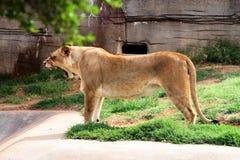 Львица сумашедшая или утомленная Стоковая Фотография
