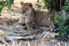 Львица с ее 3 новичками Стоковая Фотография RF