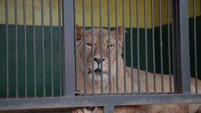 Львица с львом в клетке Львица смотрит вас, лев поворачивает прочь ложь в клетке в зоопарке Полдень лета сток-видео