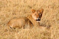 Львица с убийством Стоковые Фото