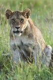 львица травы сидит детеныши Стоковое Изображение RF