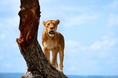львица Стоковое Изображение