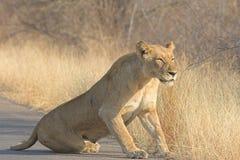 львица Стоковая Фотография