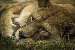 Львица Стоковые Фото