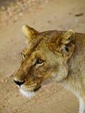 Львица Стоковые Изображения