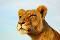 львица Стоковая Фотография RF