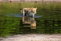 Львица Стоковое Изображение RF