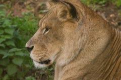 Львица Barbary портрета крупного плана красивая Стоковые Фото