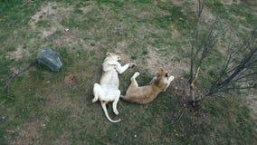 2 львицы в зоологическом парке сток-видео