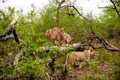 Львицы на имени пользователя лес Стоковое фото RF