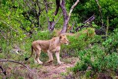Львицы на сигнале тревоги в лесе Стоковое Фото